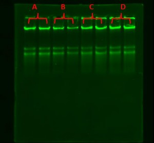 DNA separation of EPRUI magnetic silica beads and competitor's